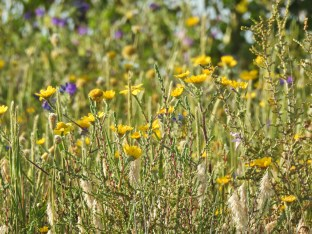 Corn Marigolds & more amongst the grasses